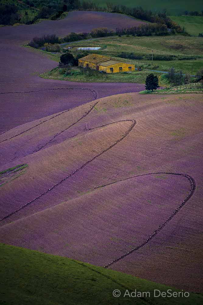 Field Of Purple, Tuscany